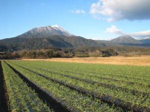 black garlic field